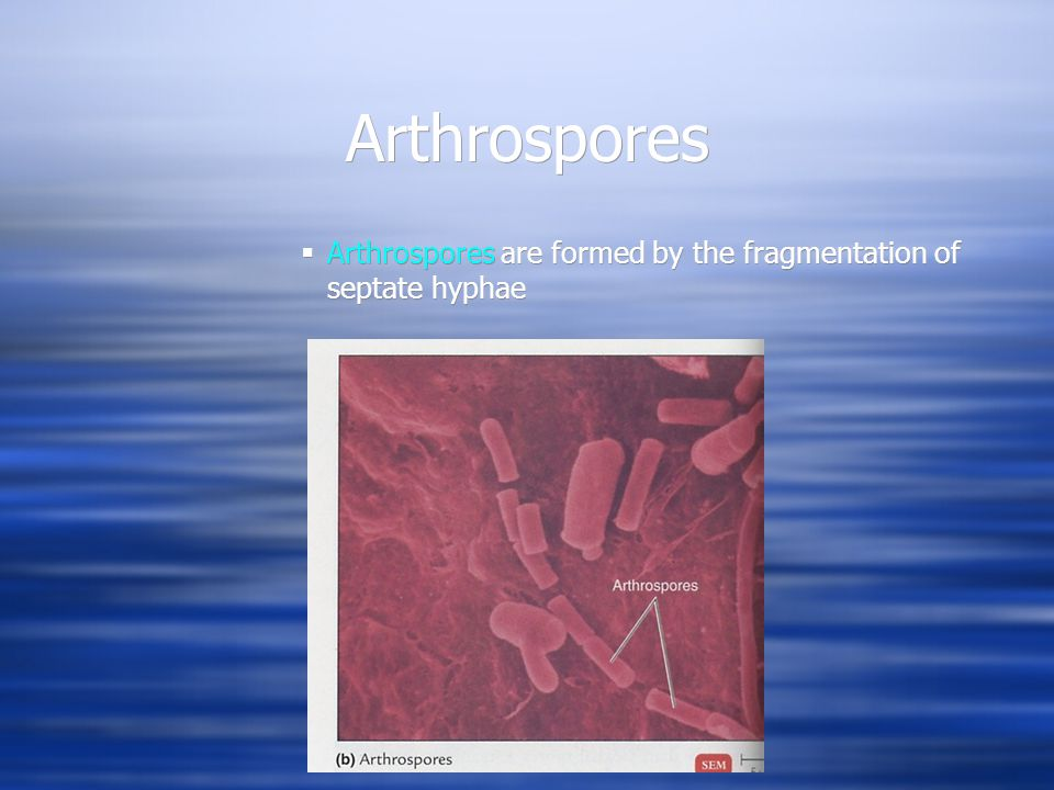Arthrospores Arthrospores are formed by the fragmentation of septate hyphae