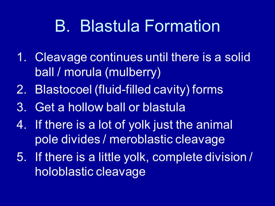 B. Blastula Formation Cleavage continues until there is a solid ball / morula (mulberry) Blastocoel (fluid-filled cavity) forms.