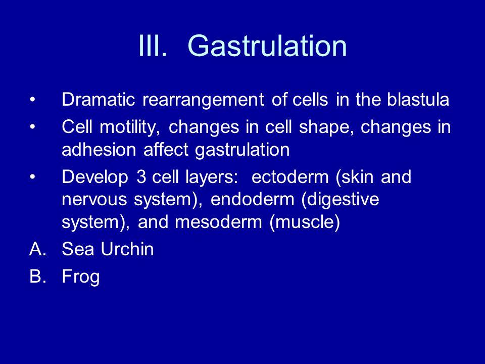 III. Gastrulation Dramatic rearrangement of cells in the blastula