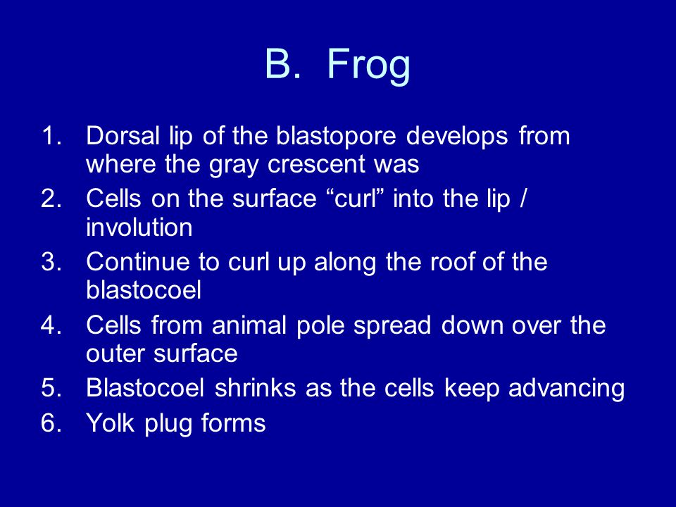 B. Frog Dorsal lip of the blastopore develops from where the gray crescent was. Cells on the surface curl into the lip / involution.