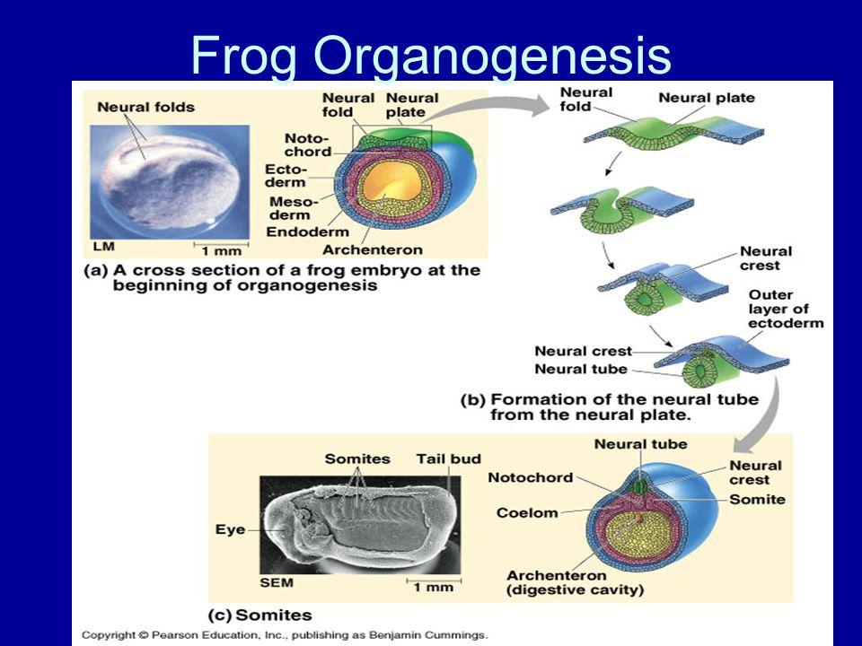 Frog Organogenesis