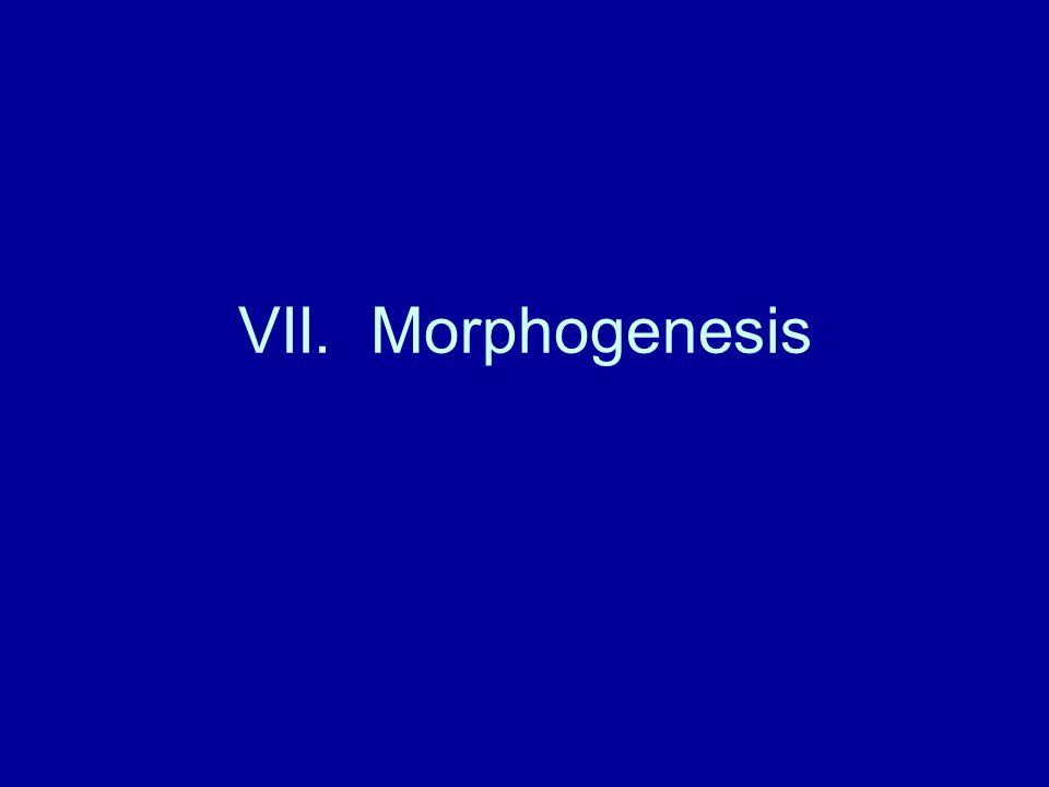 VII. Morphogenesis