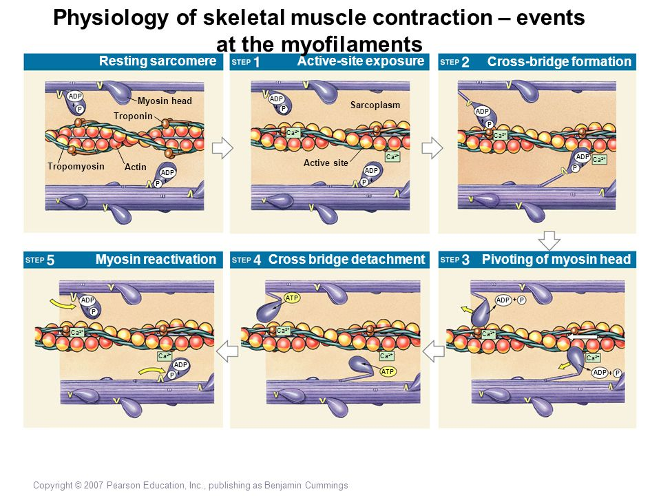 Physiology of skeletal muscle contraction – events at the myofilaments