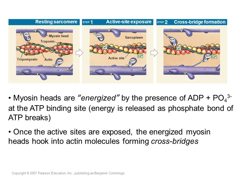 Resting sarcomere Active-site exposure. Cross-bridge formation. ADP. Myosin head. ADP. + P. +