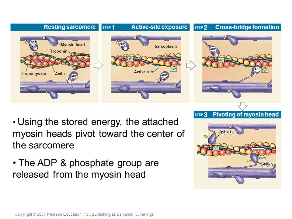 The ADP & phosphate group are released from the myosin head