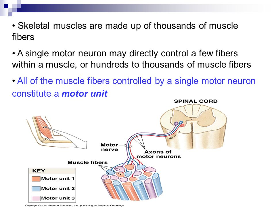Skeletal muscles are made up of thousands of muscle fibers