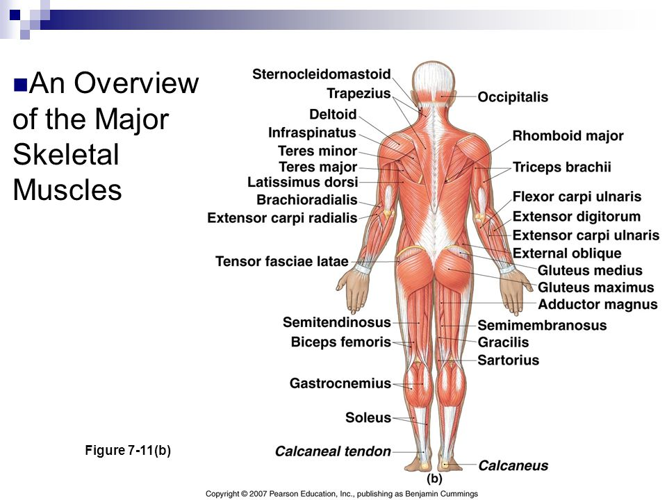 An Overview of the Major Skeletal Muscles