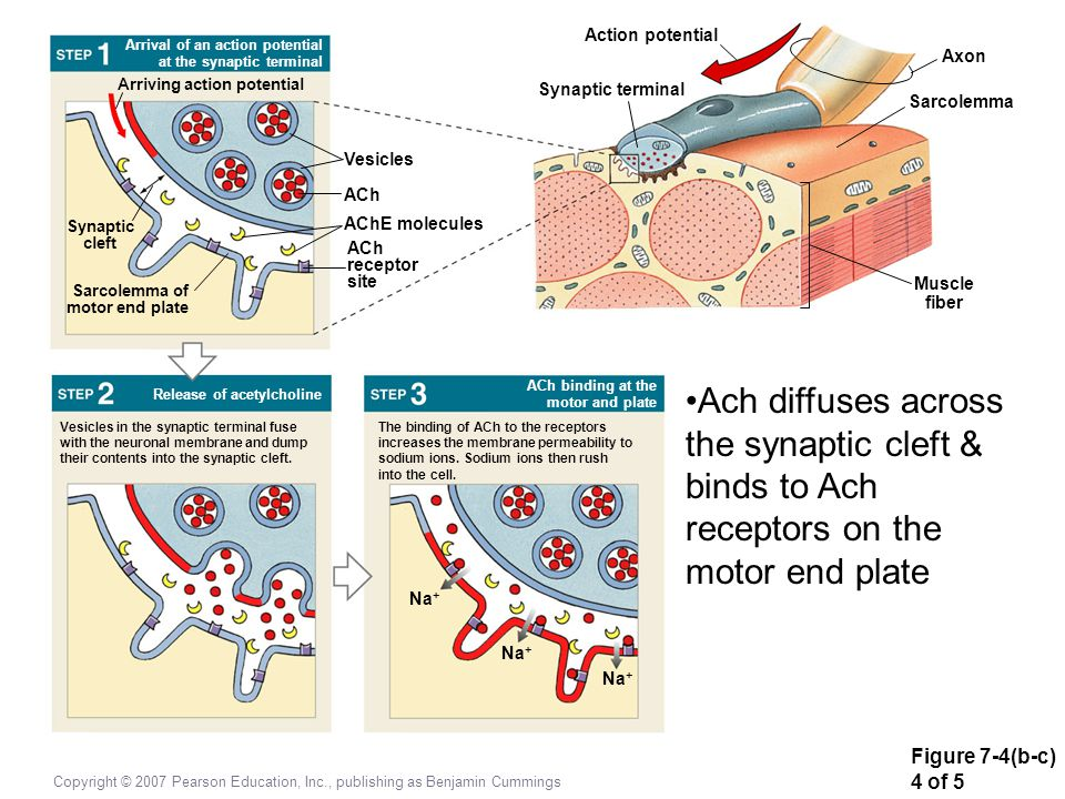 Action potential Arrival of an action potential at the synaptic terminal. Axon. Arriving action potential.