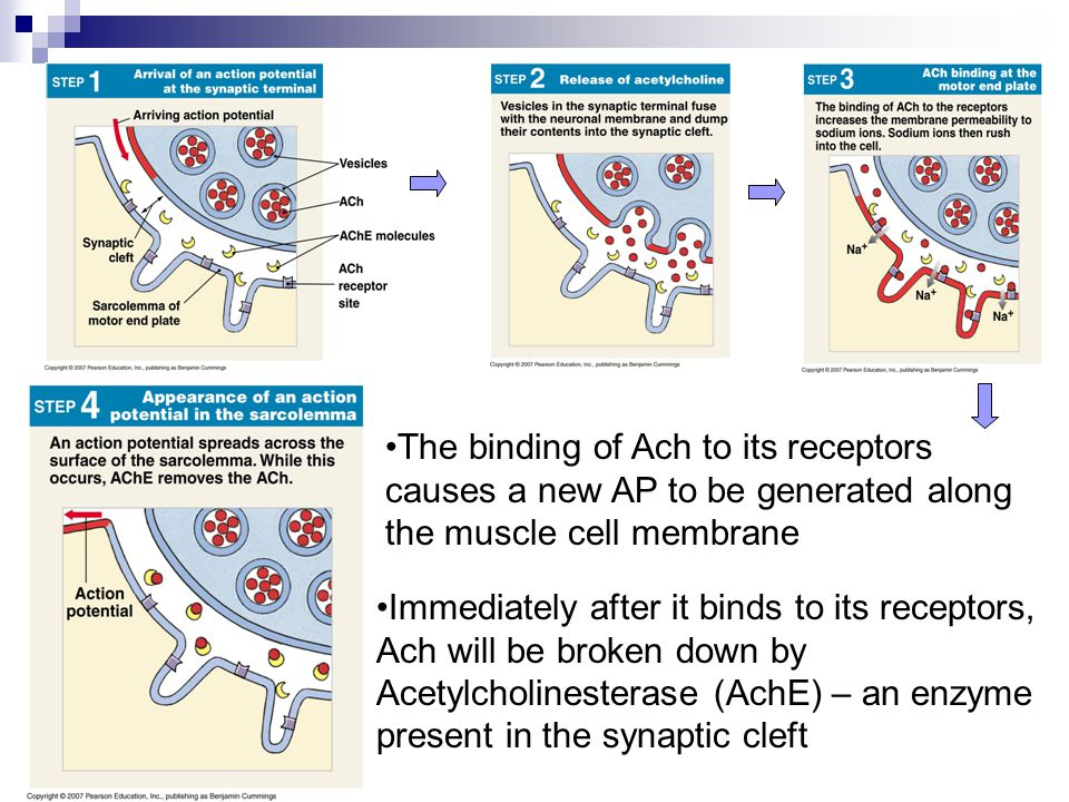 The binding of Ach to its receptors causes a new AP to be generated along the muscle cell membrane