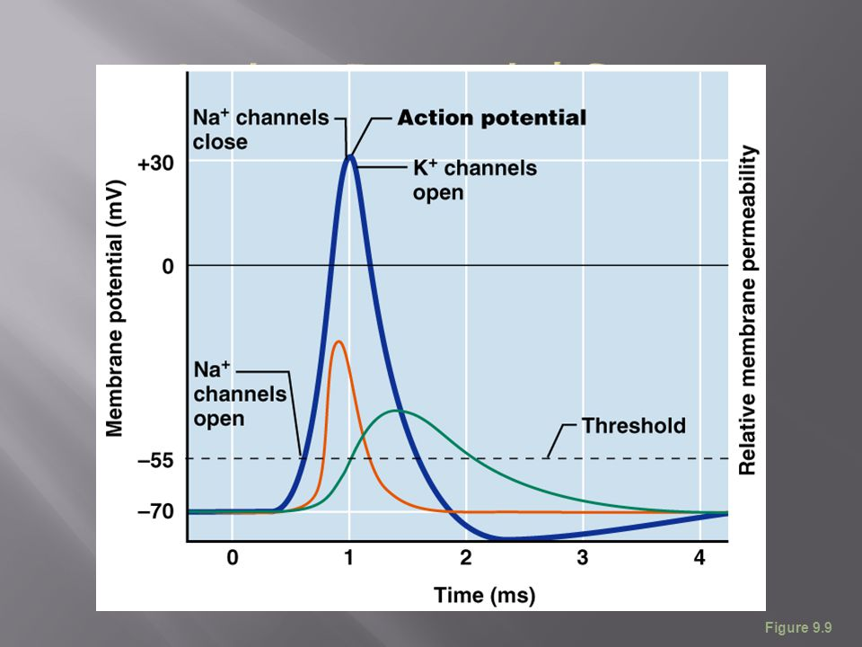 Action Potential Scan Figure 9.9