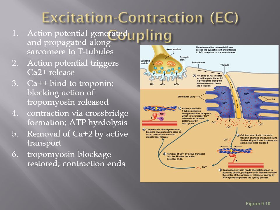 Excitation-Contraction (EC) Coupling
