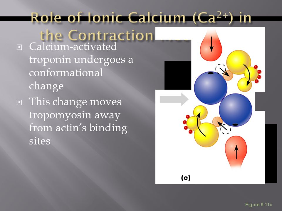 Role of Ionic Calcium (Ca2+) in the Contraction Mechanism