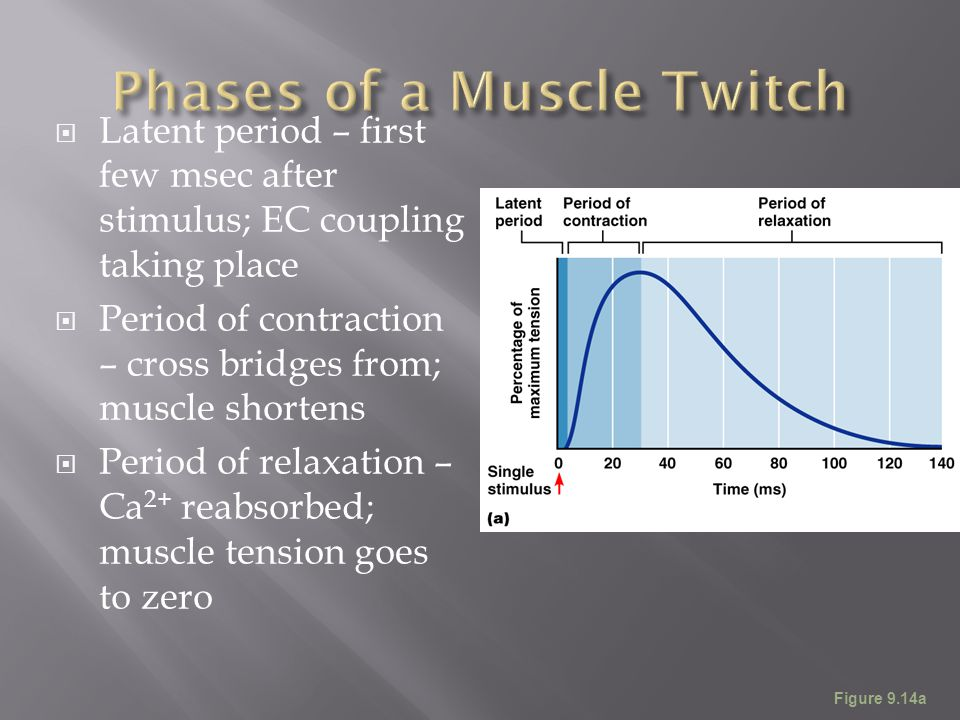 Phases of a Muscle Twitch