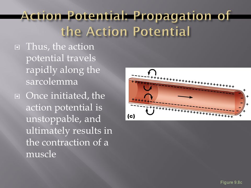 Action Potential: Propagation of the Action Potential