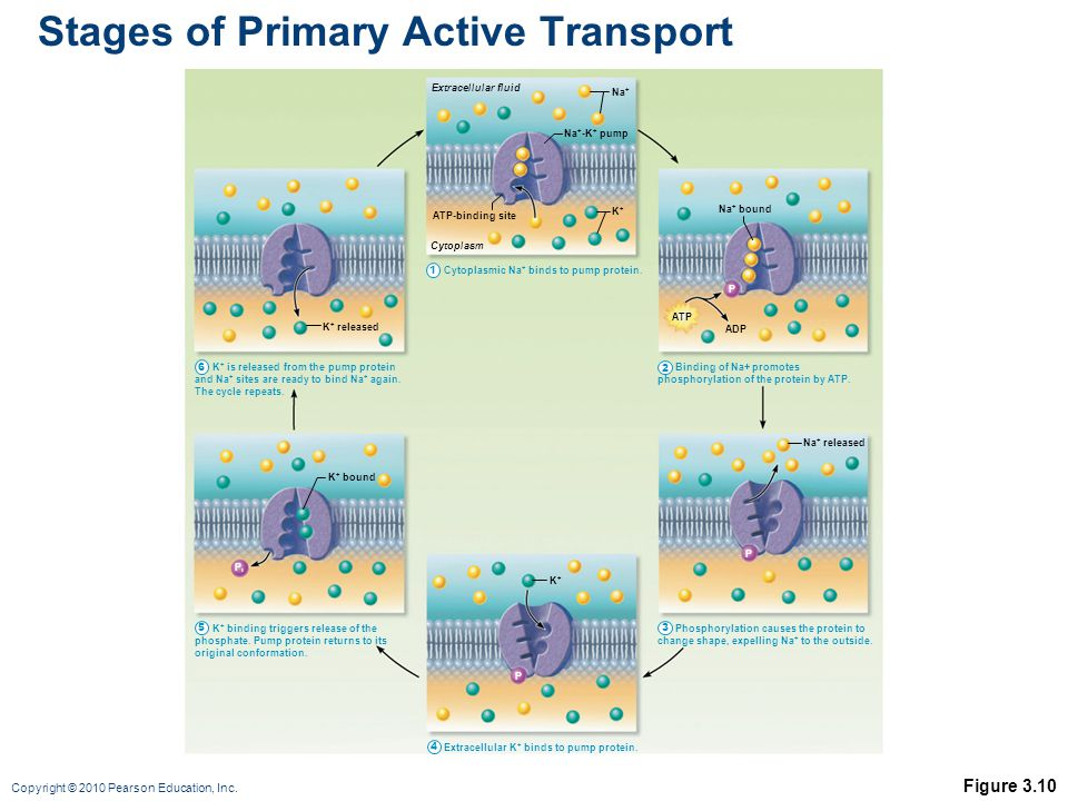 Stages of Primary Active Transport