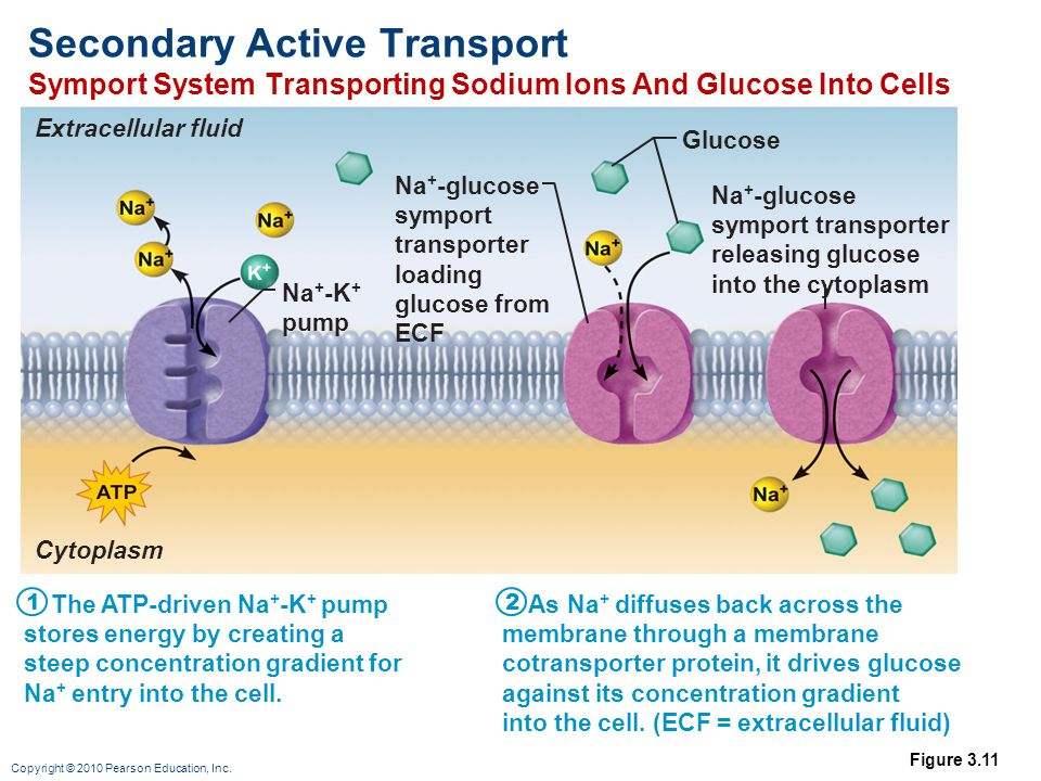 Secondary Active Transport Symport System Transporting Sodium Ions And Glucose Into Cells