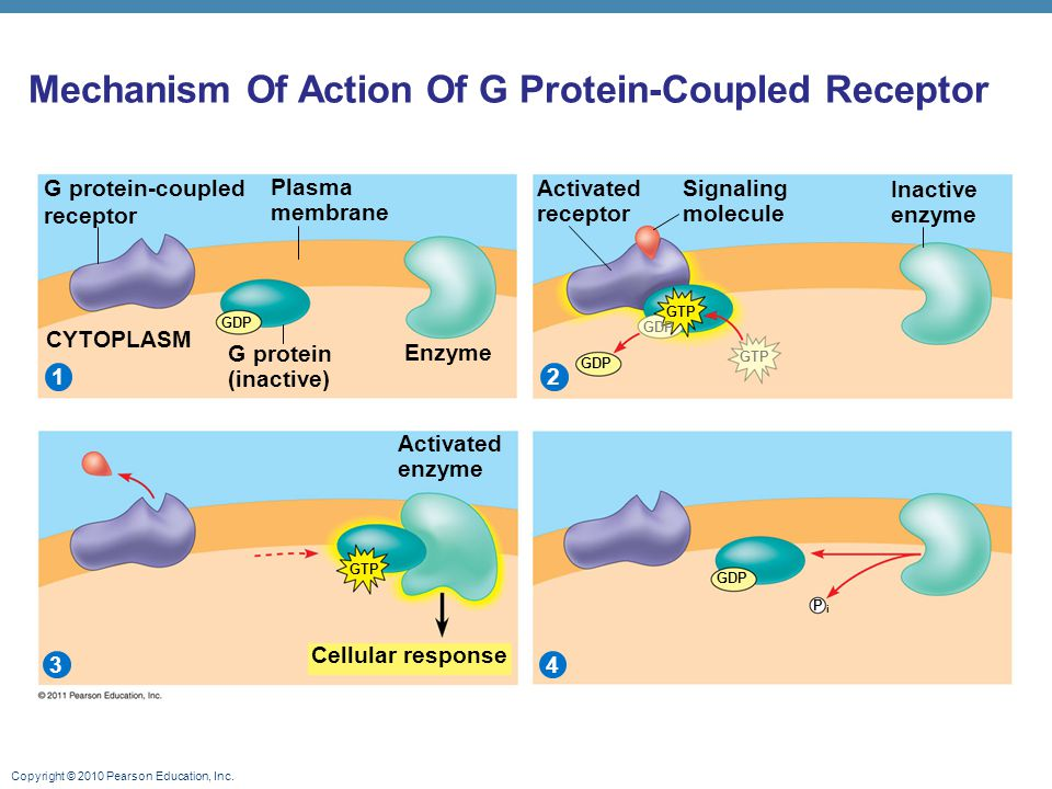 Mechanism Of Action Of G Protein-Coupled Receptor