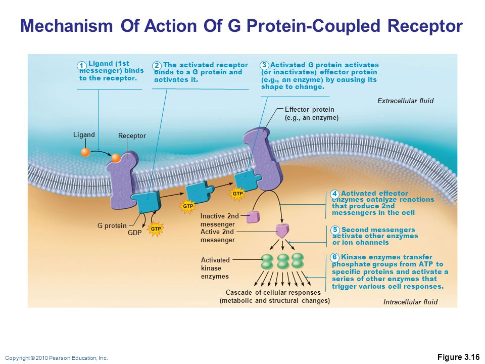 Cascade of cellular responses (metabolic and structural changes)