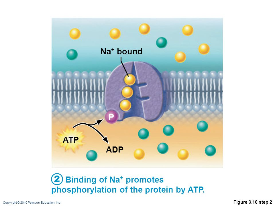 Na+ bound P. ATP. ADP. 2. Binding of Na+ promotes phosphorylation of the protein by ATP.