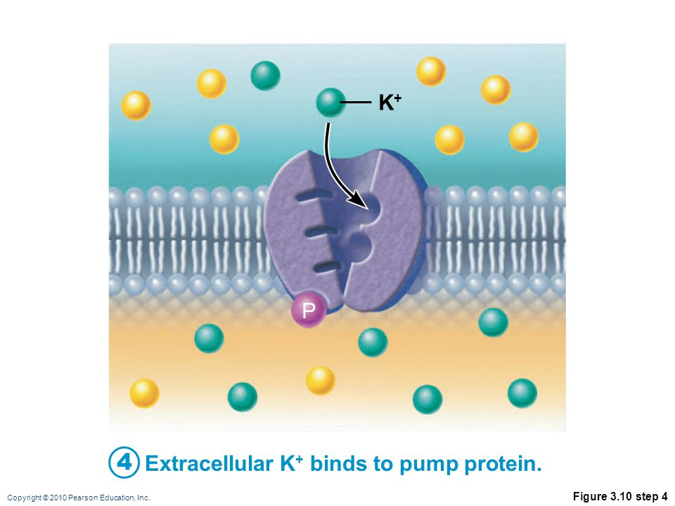 K+ P 4 Extracellular K+ binds to pump protein. Figure 3.10 step 4