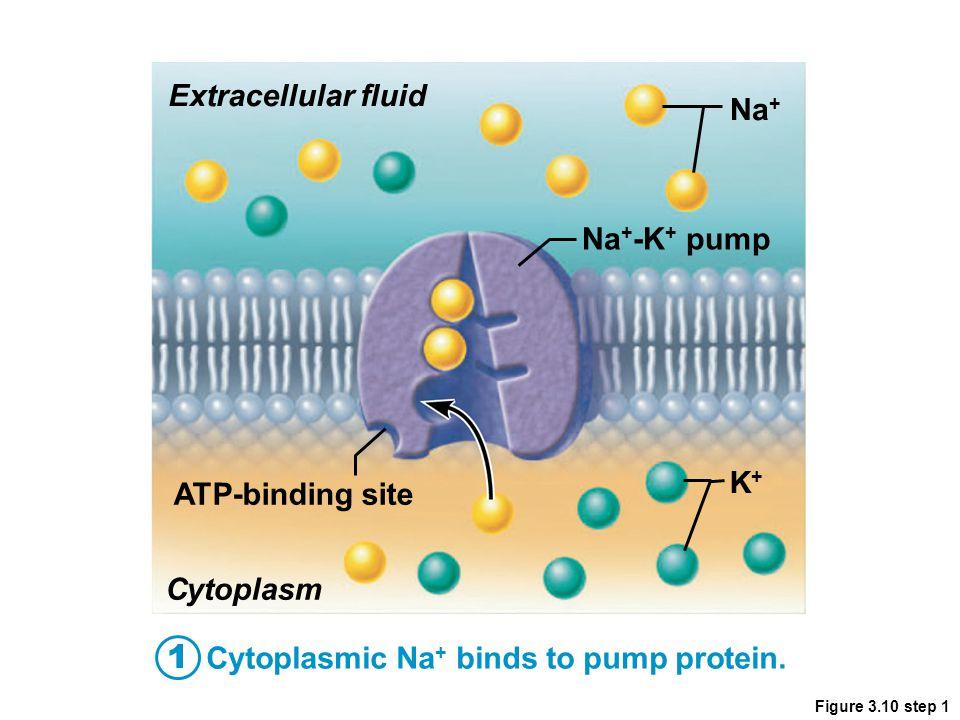 1 Extracellular fluid Na+ Na+-K+ pump K+ ATP-binding site Cytoplasm