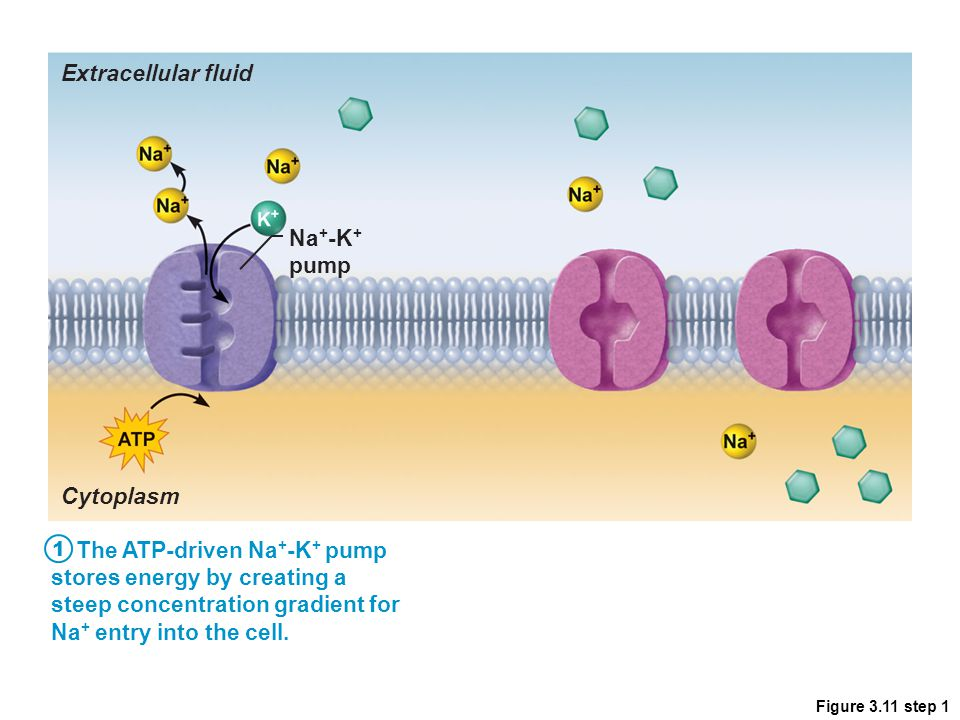 The ATP-driven Na+-K+ pump stores energy by creating a