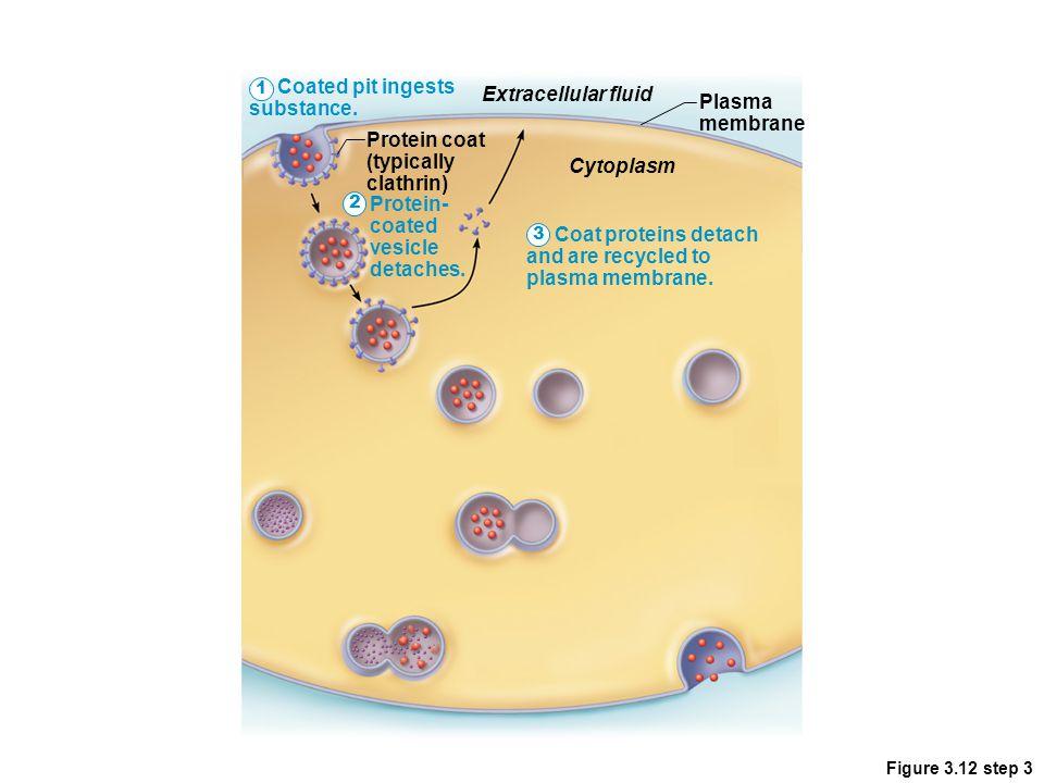Coated pit ingests substance. Extracellular fluid Plasma membrane