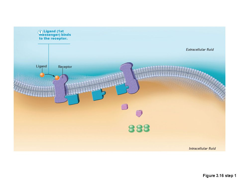 Figure 3.16 step 1 1 Ligand (1st messenger) binds to the receptor.
