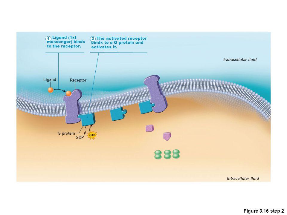 Figure 3.16 step 2 1 Ligand (1st messenger) binds to the receptor. 2
