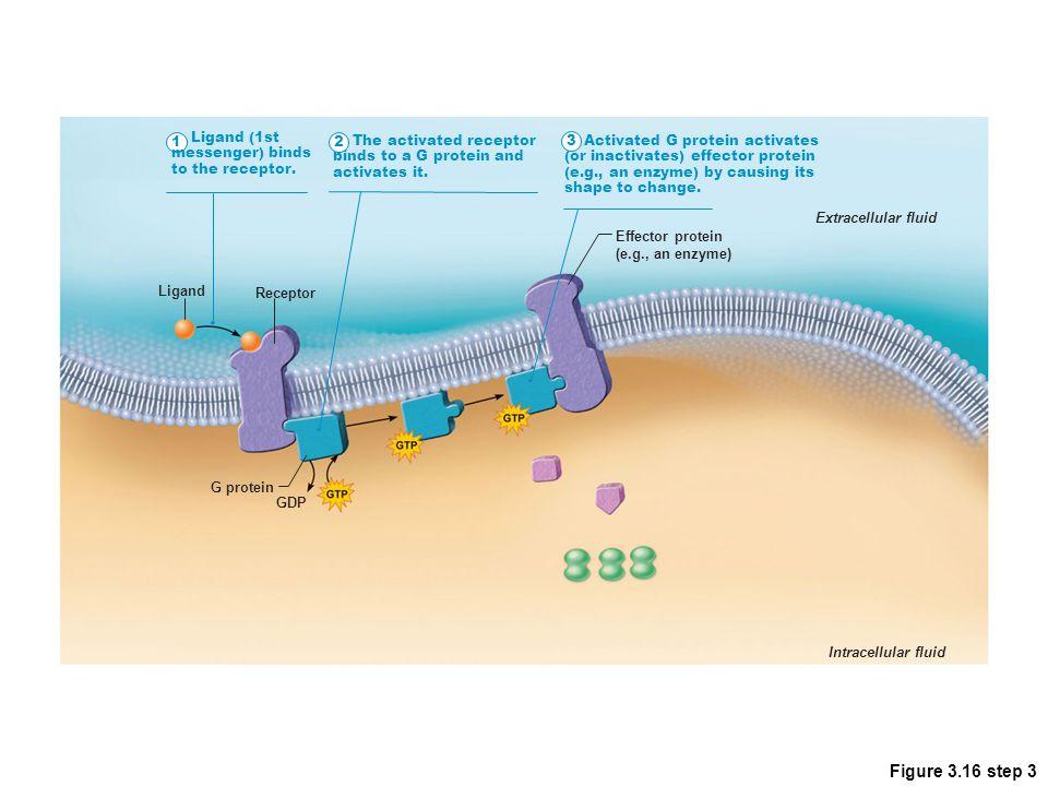Figure 3.16 step 3 1 Ligand (1st messenger) binds to the receptor. 2