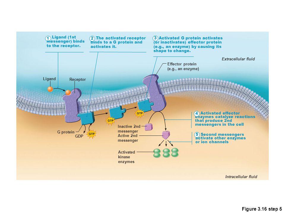 Figure 3.16 step 5 1 Ligand (1st messenger) binds to the receptor. 2