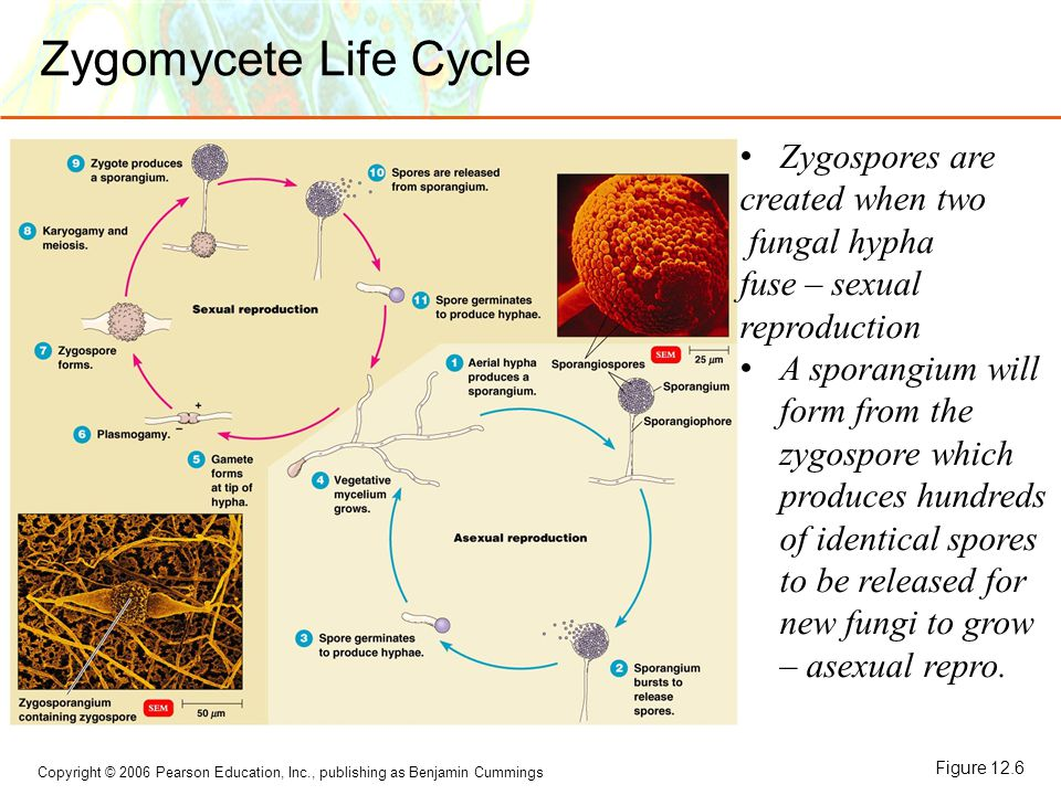 Zygomycete Life Cycle Zygospores are created when two fungal hypha