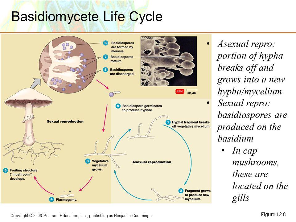 Basidiomycete Life Cycle