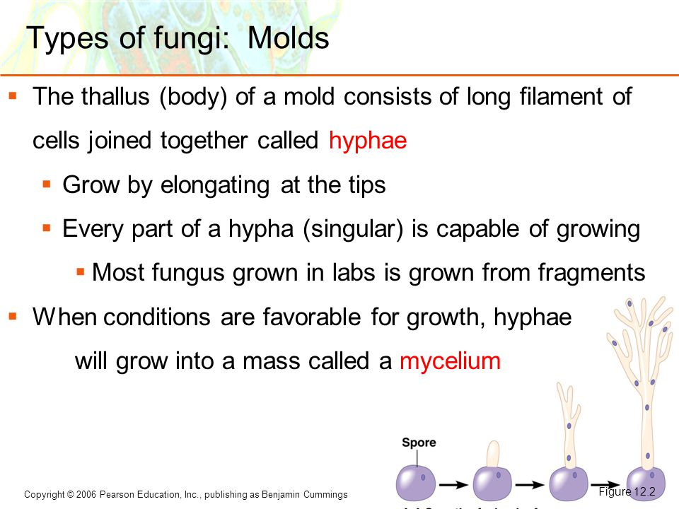 Types of fungi: Molds The thallus (body) of a mold consists of long filament of cells joined together called hyphae.
