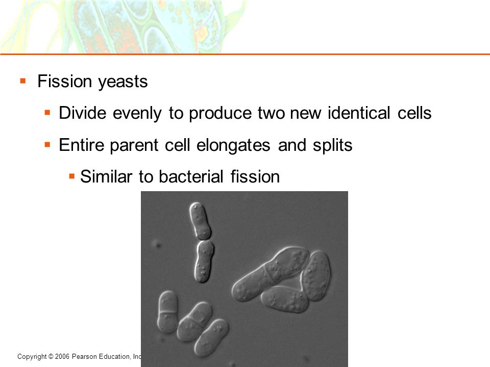 Fission yeasts Divide evenly to produce two new identical cells. Entire parent cell elongates and splits.
