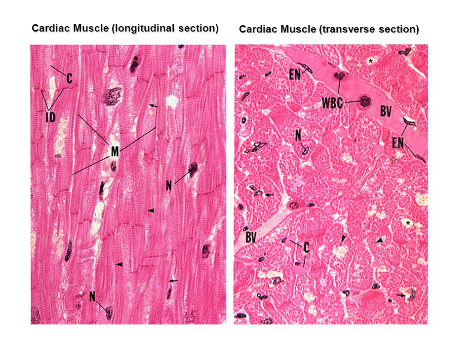 Cardiac Muscle (longitudinal section)