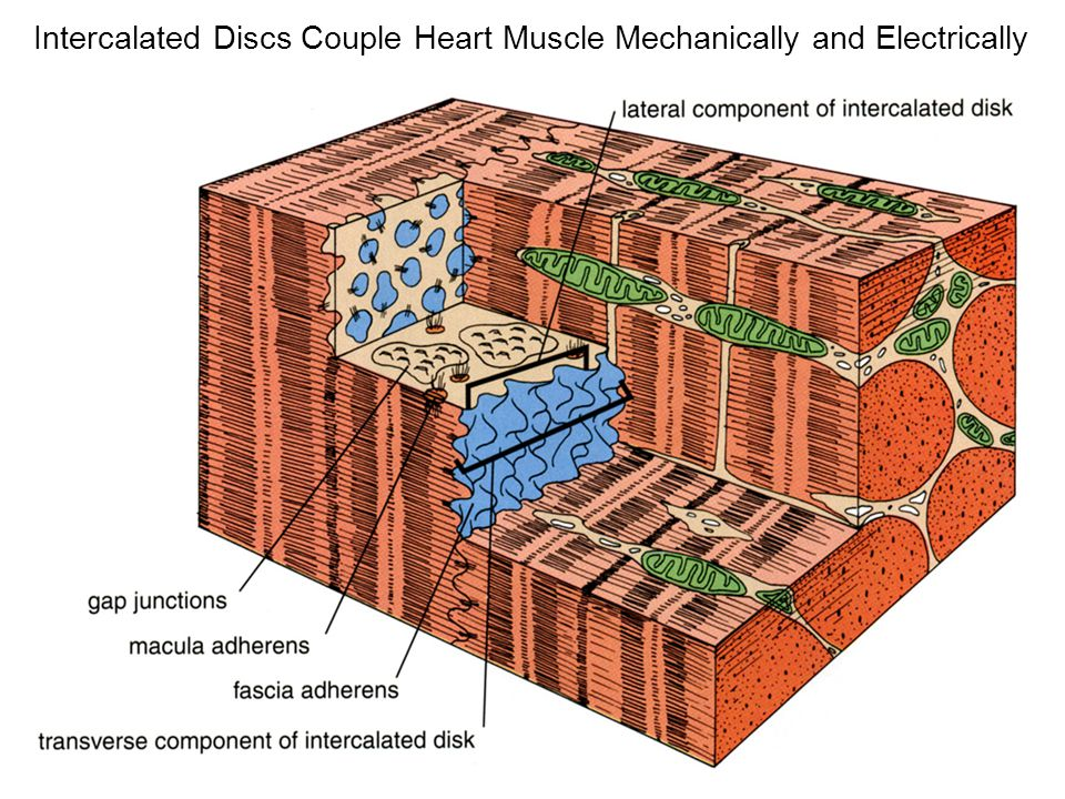 Intercalated Discs Couple Heart Muscle Mechanically and Electrically