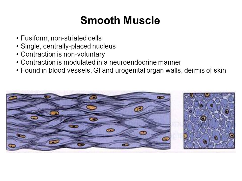 Smooth Muscle Fusiform, non-striated cells