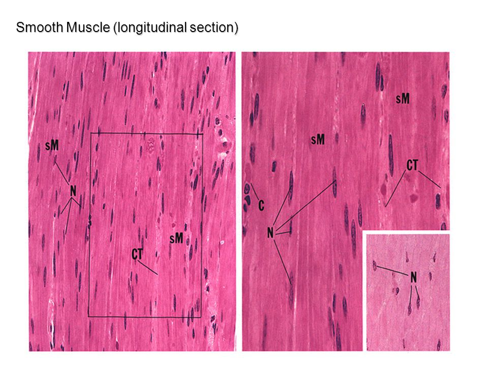 Smooth Muscle (longitudinal section)