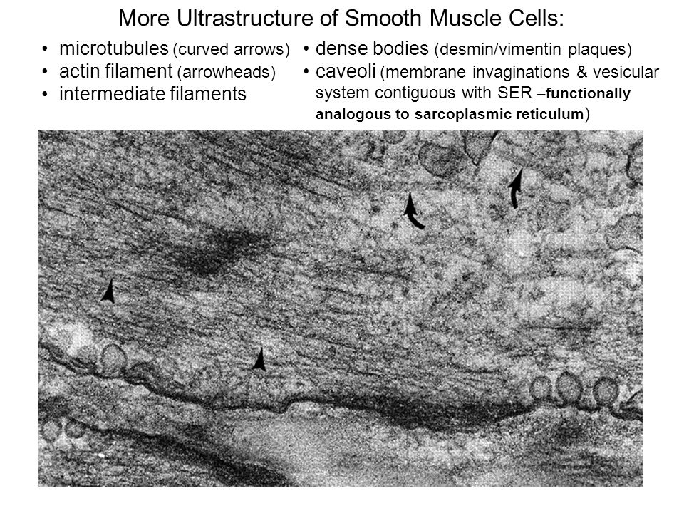 More Ultrastructure of Smooth Muscle Cells: