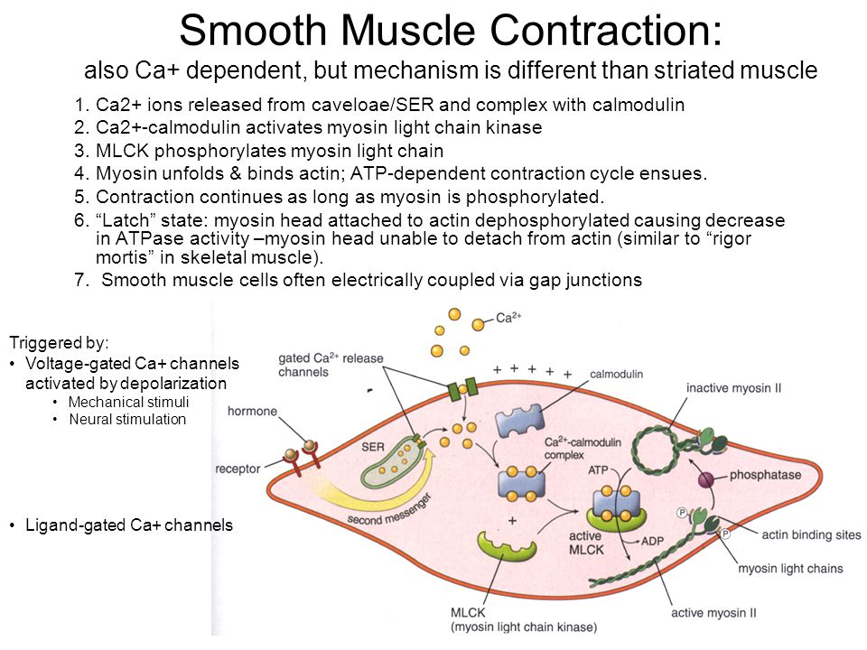 Smooth Muscle Contraction: also Ca+ dependent, but mechanism is different than striated muscle