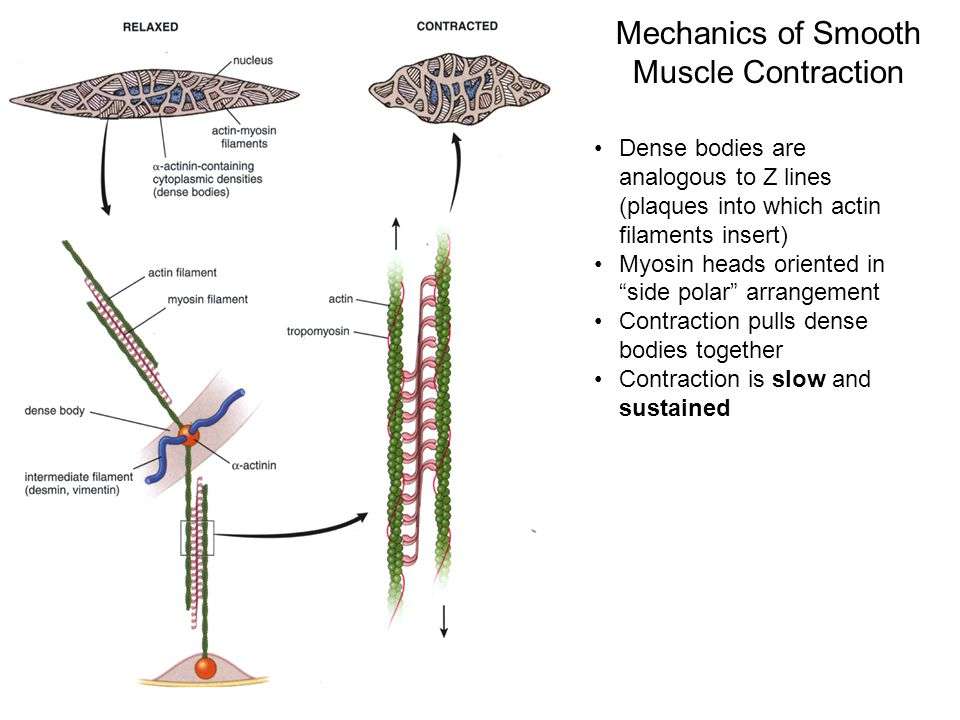Mechanics of Smooth Muscle Contraction