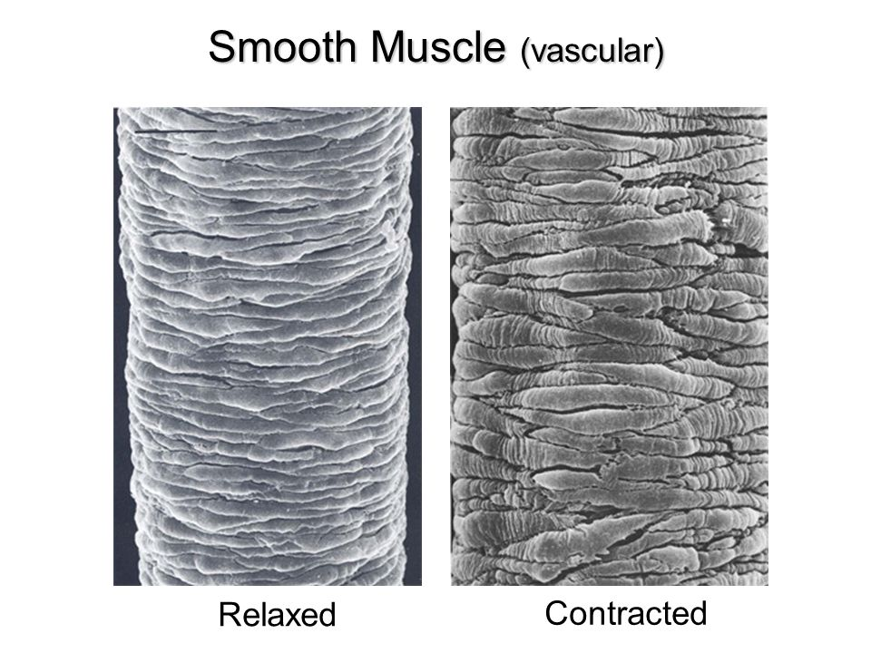 Smooth Muscle (vascular)