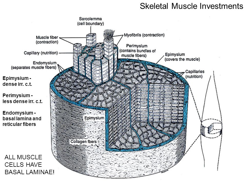 Skeletal Muscle Investments