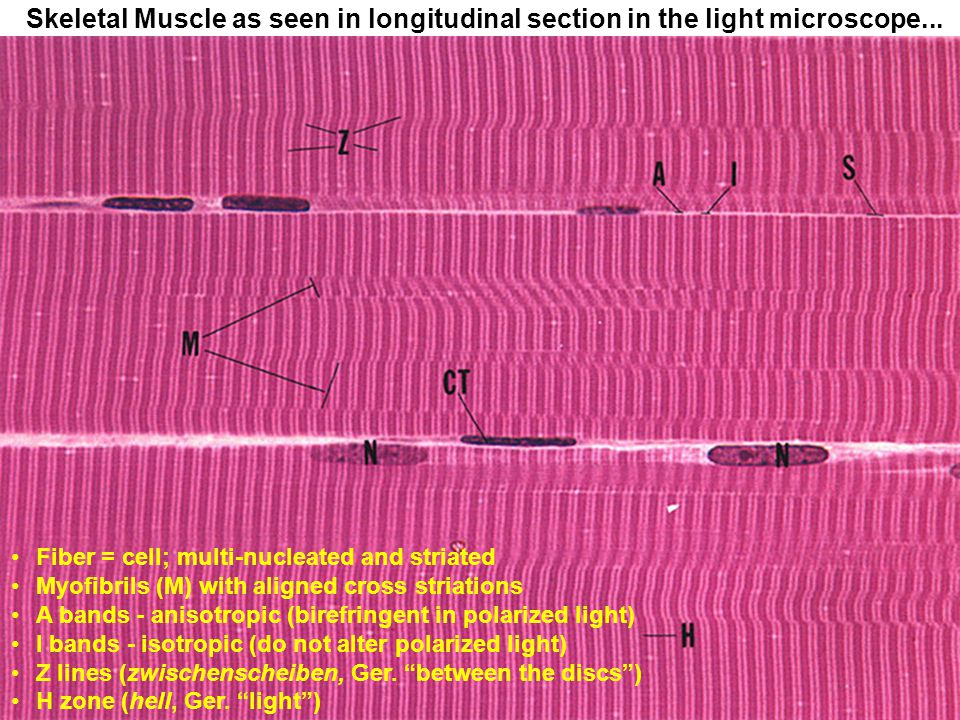 Skeletal Muscle as seen in longitudinal section in the light microscope...