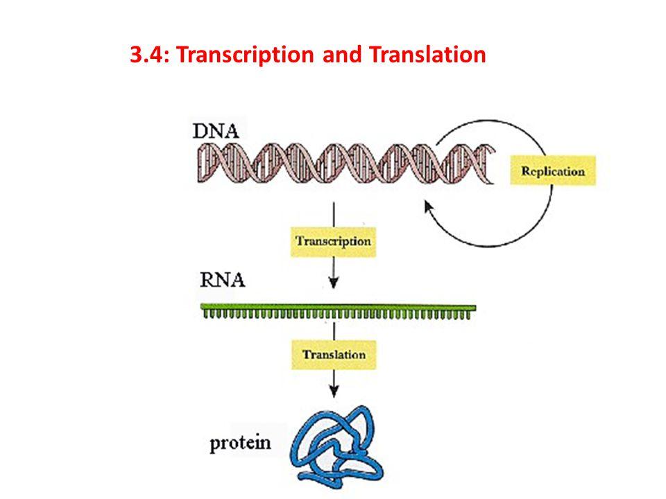 3.4: Transcription and Translation