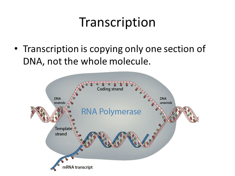 Transcription Transcription is copying only one section of DNA, not the whole molecule.