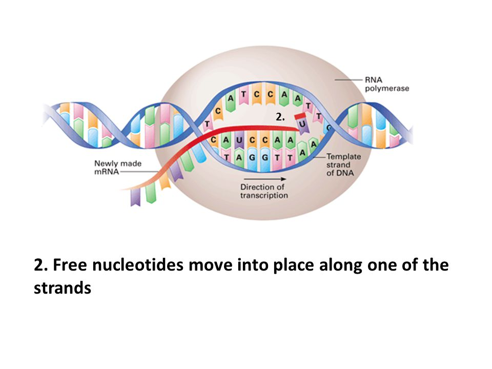 2. Free nucleotides move into place along one of the strands