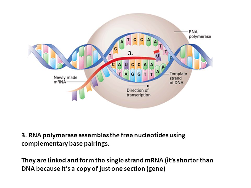 3. 3. RNA polymerase assembles the free nucleotides using complementary base pairings.