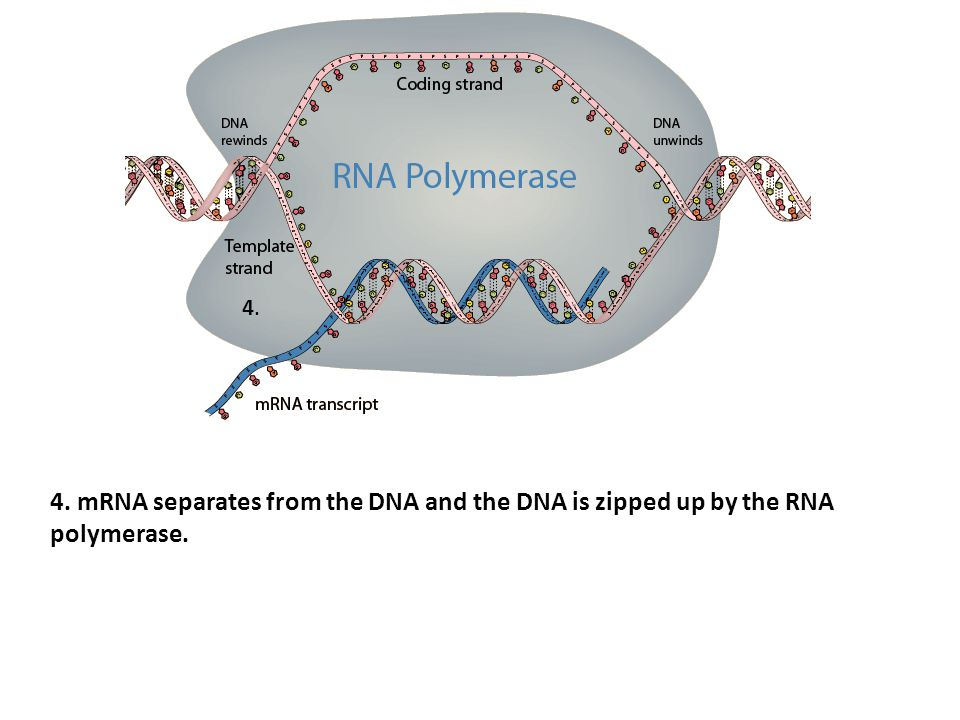 4. 4. mRNA separates from the DNA and the DNA is zipped up by the RNA polymerase.
